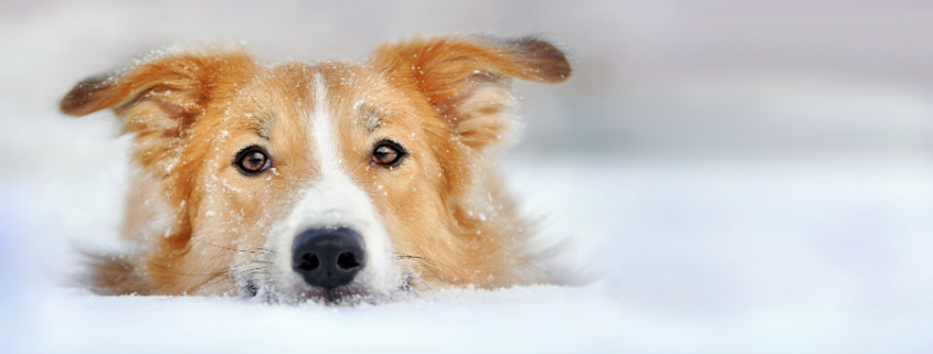 Dog dangers in winter